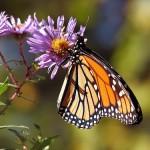 Schmetterlinge zählen